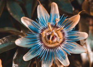 пасифлора-билката-на-страстта